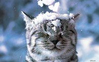 snow head cat