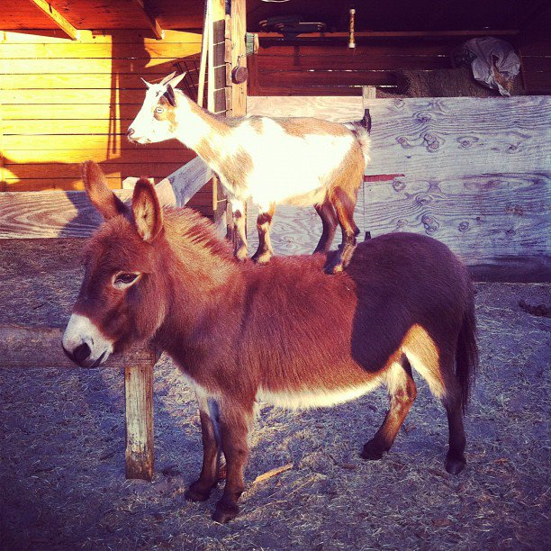 small goat on donkey/small horse's back - pichars.org